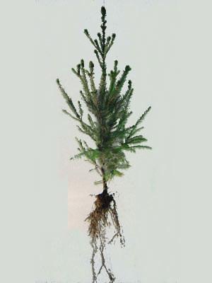 Fichte, Rotfichte (Picea abies)