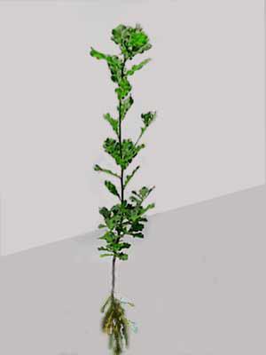 Traubeneiche (Quercus petraea)