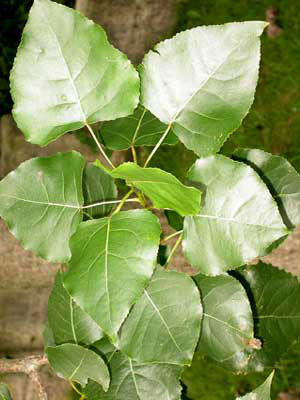 Pappel (Populus trichocarpa x Populus maximowiczii) Hochleistungs-Klon Matrix 49