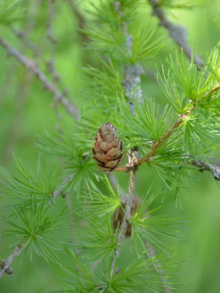 Hybridlärche (Larix x eurolepis)