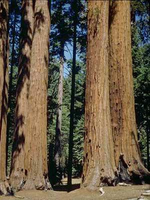 kalifornischer Mammutbaum im Forst