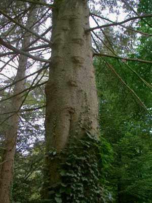 Grosse Küstentanne (Abies grandis)