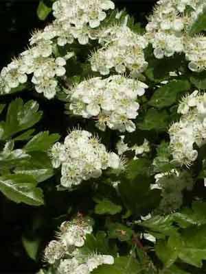 Eingriffliger Weissdorn (Crataegus monogyna)