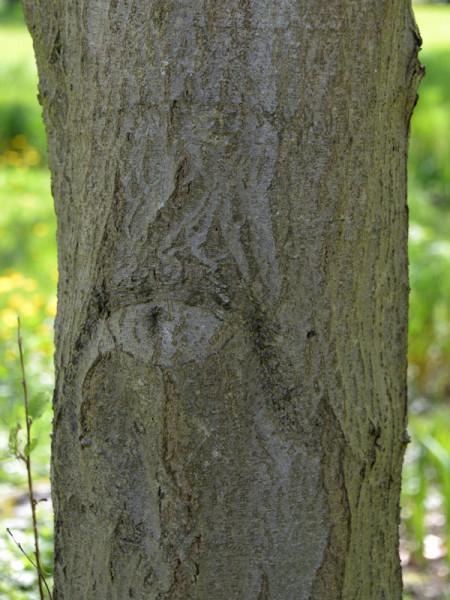 Weisserle (Alnus incana) Grauerle