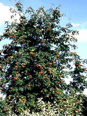 Eberesche (Sorbus aucuparia) Vogelbeere