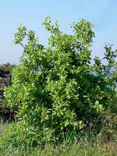Kreuzdorn, Wegedorn (Rhamnus cathartica)