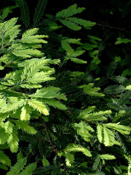 Küsten-Mammutbaum (Sequoia sempervirens)