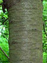prunus-avium-forst