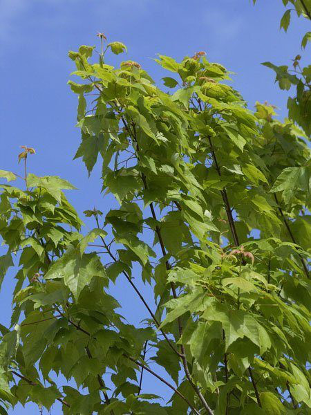 Rot-Ahorn (Acer rubrum)