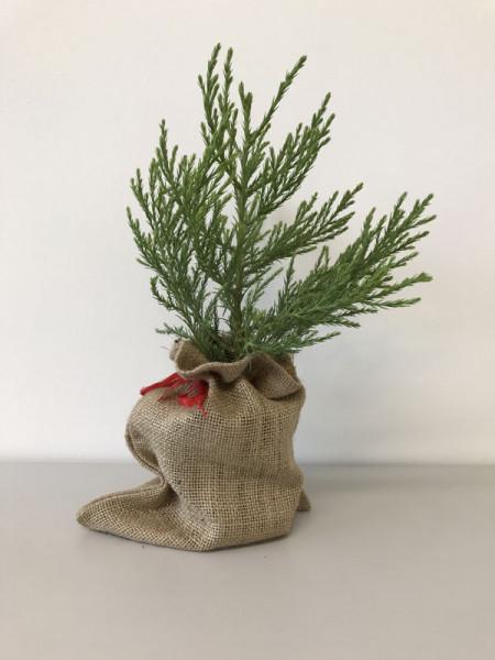Mammutbaum mit Jutesack - Werbegeschenk