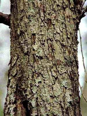 Wildapfel (Malus sylvestris)