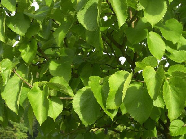 Weiße Maulbeere (Morus alba)
