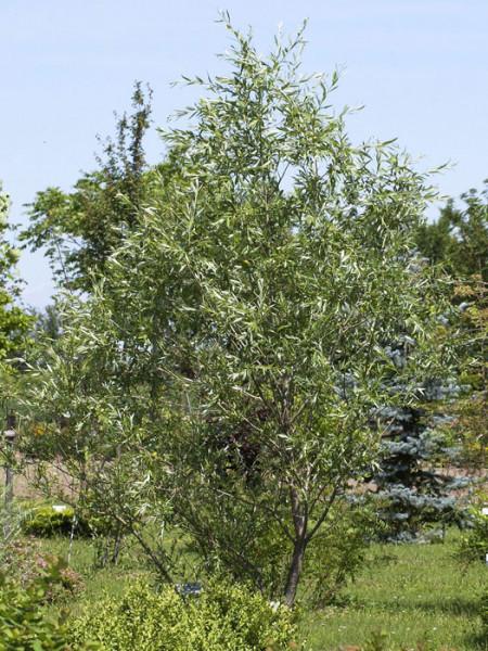 Purpurweide, (Salix purpurea)