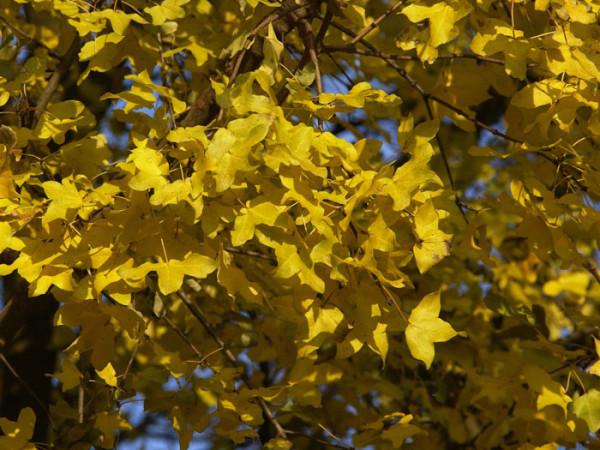 Französischer Ahorn, Felsenahorn, Burgenahorn (Acer monspessulanum)