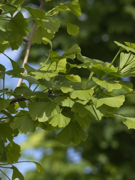 Fächerblattbaum (Ginkgo biloba)