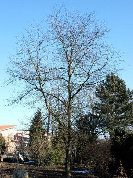 Lederhülsenbaum, falscher Christusdorn (Gleditsia triacanthos)