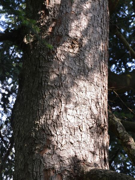 Nordmanntanne (Abies nordmanniana)Samenherkunft: Ambrolauri/Borshomi