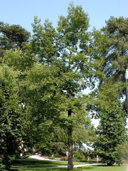 Sumpfeiche (Quercus palustris)