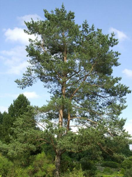 Kiefer/Föhre (Pinus sylvestris)