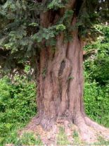 taxus-baccata-forst
