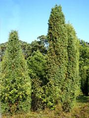 juniperus-communis-forst