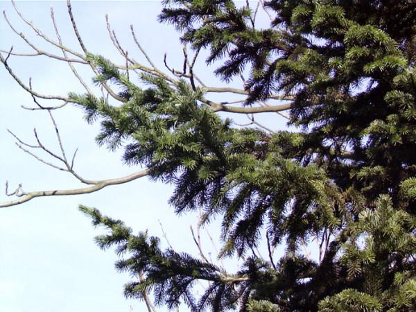 Sibirische Tanne (Abies sibirica)