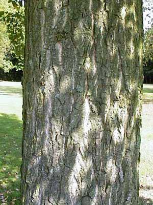 Pappel (Populus ssp. Hybr.)