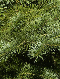 abies-arizonica-forst
