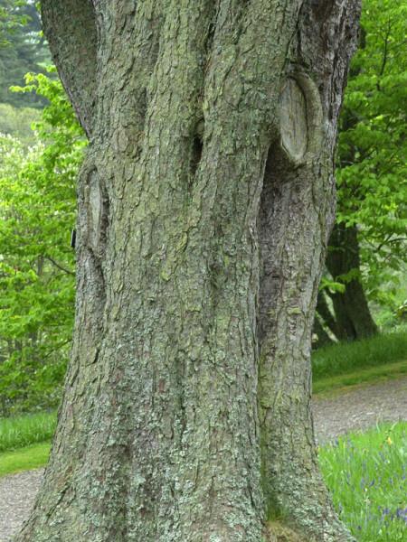 Zirbe, Zirbelkiefer, Arve (Pinus cembra)