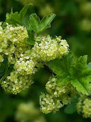 Wilde Johannisbeere (Ribes alpinum) Alpenjohannisbeere