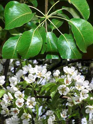 Wildbirne (Pyrus communis)