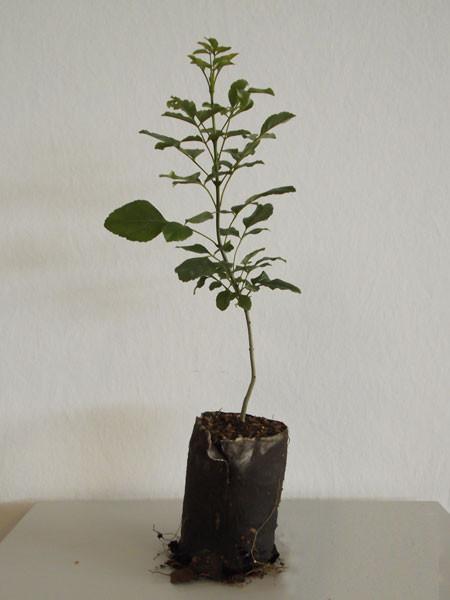 Blumen-Esche (Fraxinus ornus)