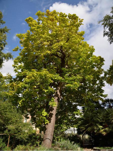 Großkroniger Trompetenbaum (Catalpa bungei)