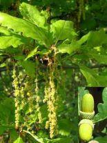 quercus-petraea-forst