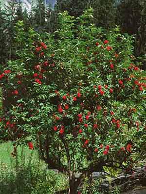 Traubenholunder (Sambucus racemosa) roter Holunder