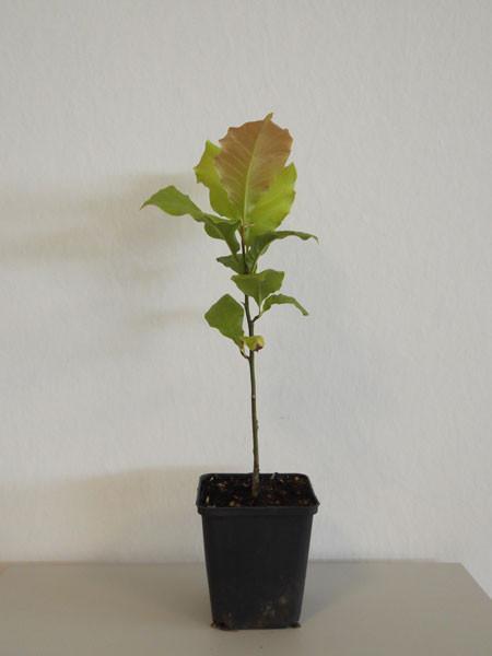 Baummagnolie (Magnolia kobus)
