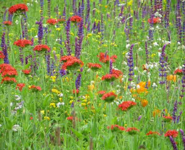 Blumenwiese - Bienenwiese