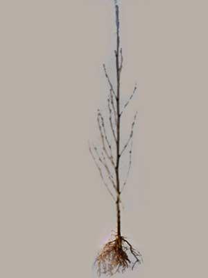 Schwarzerle (Alnus glutinosa) Roterle - XL Produkt