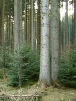abies-alba-forst
