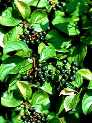 Roter Hartriegel (Cornus sanguinea)