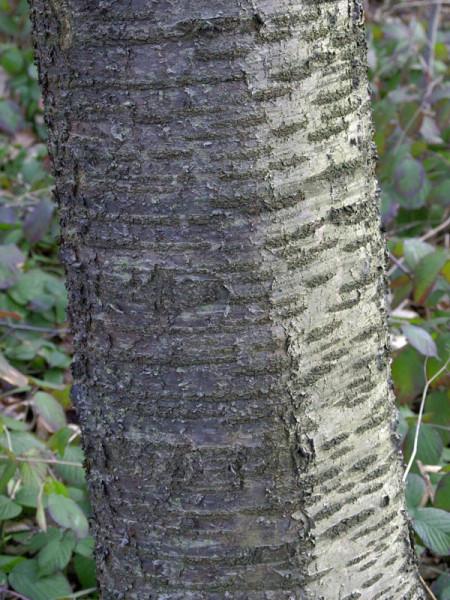 Wildkirsche (Prunus avium) Vogelkirsche