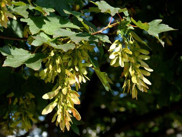 Bergahorn (Acer pseudoplatanus) - XL Produkt