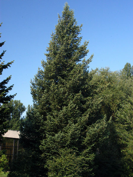 Kolorado-Douglasie, Blaue Douglasie (Pseudotsuga menz. glauca)
