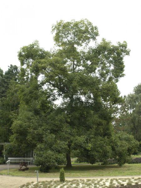 Schuppenrinden-Hickory (Carya ovata)