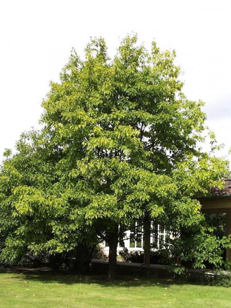 Roteiche (Quercus rubra)