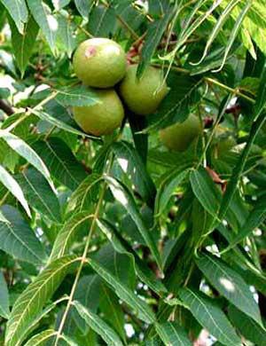 Schwarznuss (Juglans nigra)
