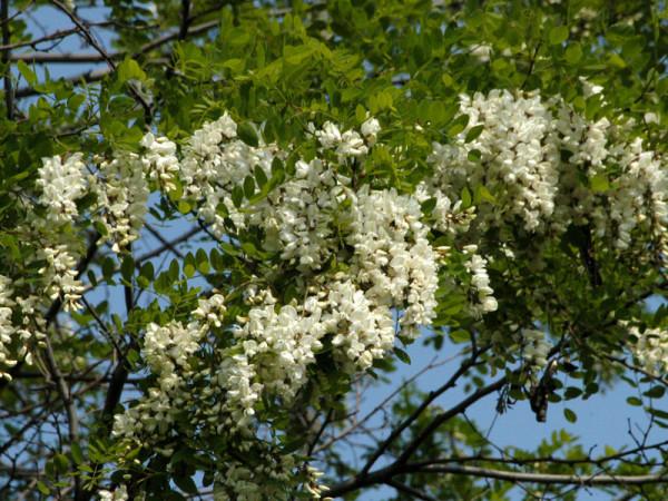Robinie (Robinia pseudoacacia) Scheinakazie - XL-Produkt