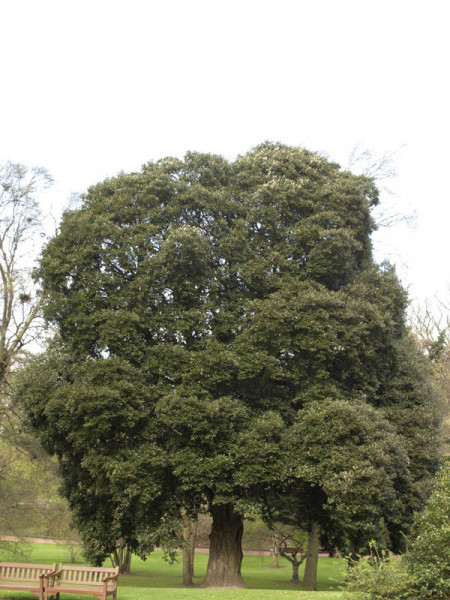 Stein-Eiche (Quercus ilex)
