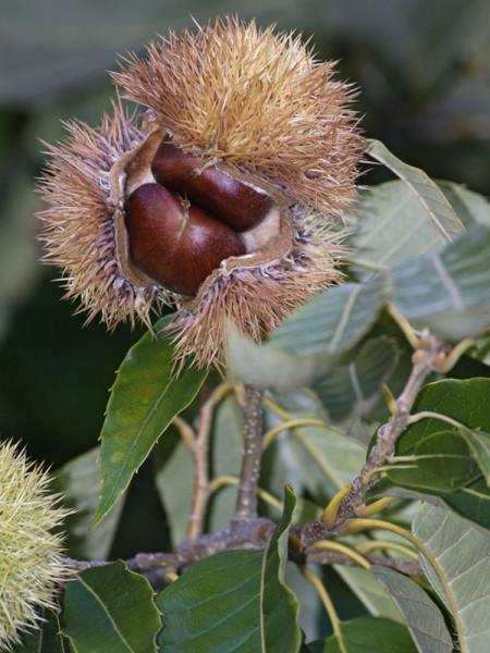 Amerikanische Edelkastanie (Castanea dentata)