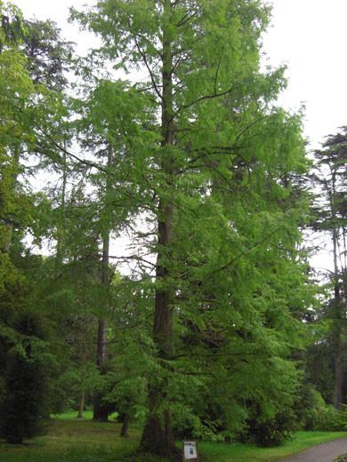 Sumpfzypresse (Taxodium distichum)